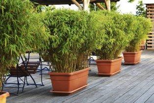 Set van 3 bamboeplanten